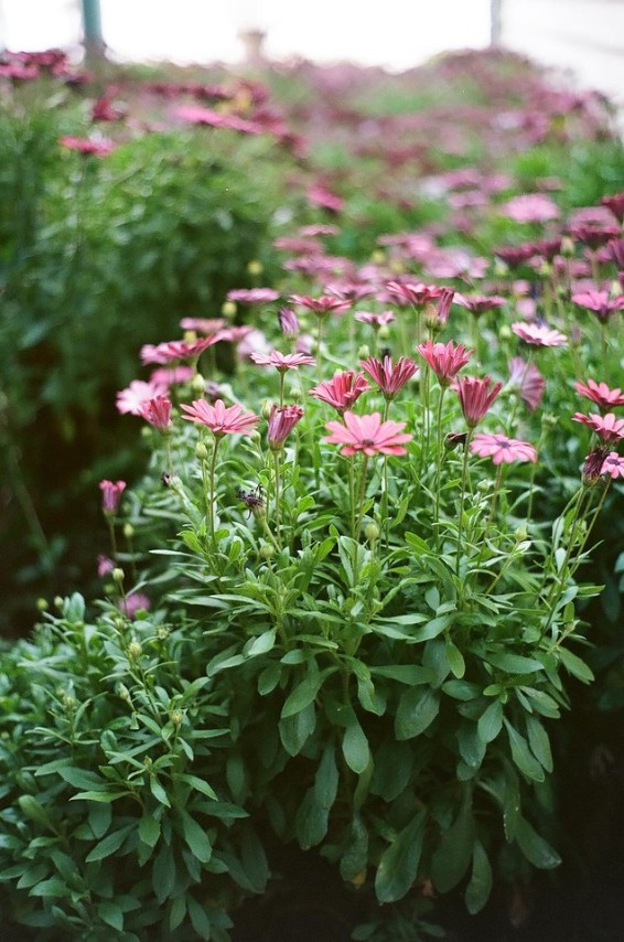 First shot with the Minolta Hi-Matic 7s - Flowers at the hotel