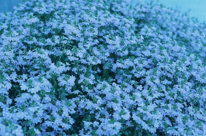 Flowers in San Diego, California - Camera: Minolta SR-T202 - Film: FPP RetroChrome 160