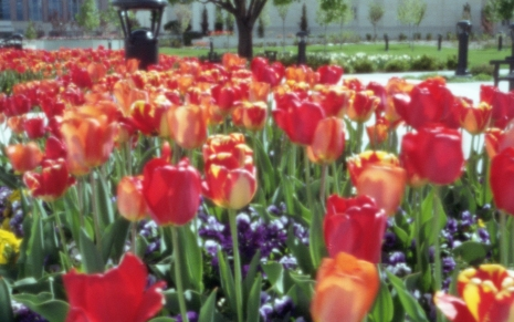 WWPPD - Tulips at the Ogden, Utah, Temple